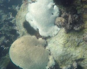 Bleached and live brain corals