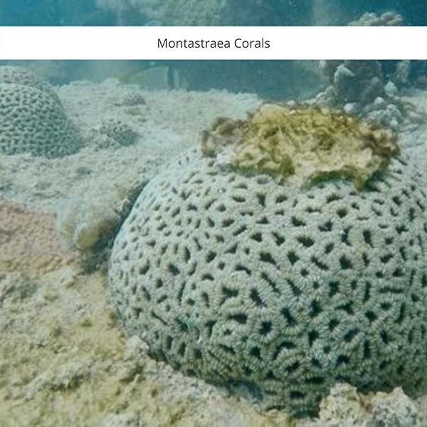 Monastraea Coral